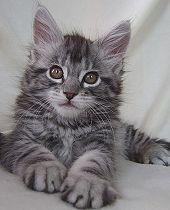 Www Mcats De Maine Coon Breederlist Healthdatabase And More